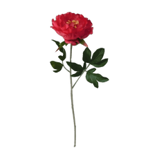 Peonia--47-cm-Krea-abierta-1-40633360